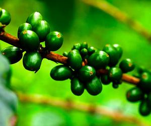 yeşil-kahve-çekirdeği[1]