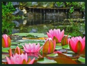 Nilüfer-Çiçeği-22[1]