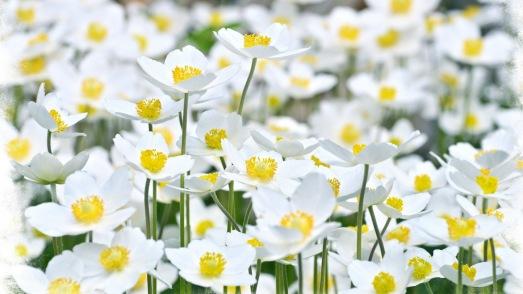 Güzel_beyaz_çiçekler[1]
