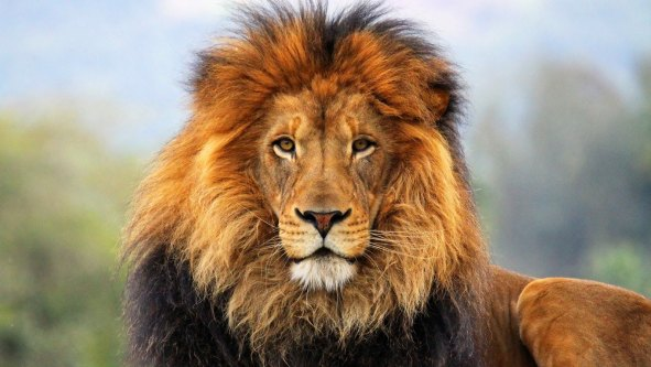 kahve-falında-aslan-görmek[1]