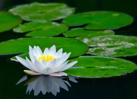 white-lotus[1]