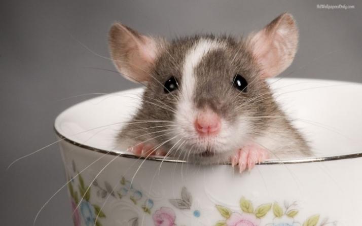 cute-pet-rats-13880jpg-728x728[1]
