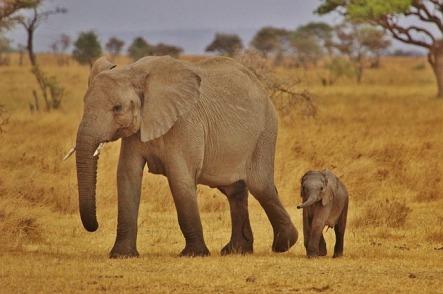 elephant-babies-278524_640[1]