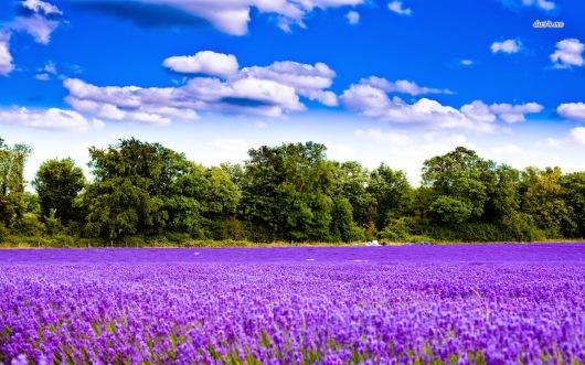 4336-lavender-field-1280x800-nature-wallpaper1