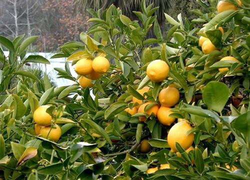Ağız-sağlığını-korur.-Limon-kabuğu-ağız-sağlığı-ve-hijyeni-için-mükemmel-bir-meyvedir[1]
