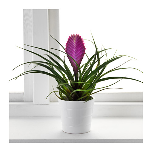 tillandsia-cyanea-potted-plant-bromelia__0443873_pe594597_s4[1]
