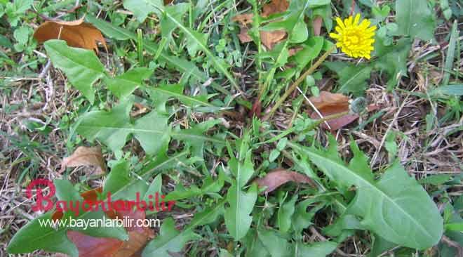 Karahindiba-çayı-kanser-hücrelerini-yok-ediyor[1]