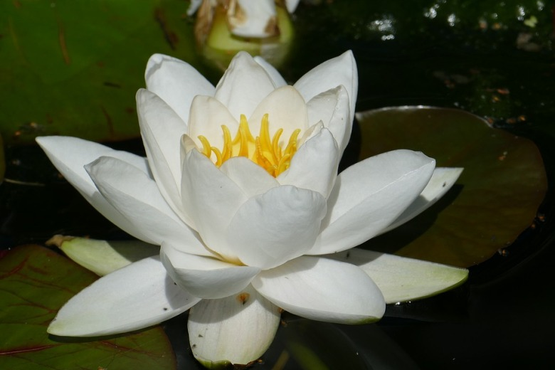 water-lily-1593693_960_720[1]