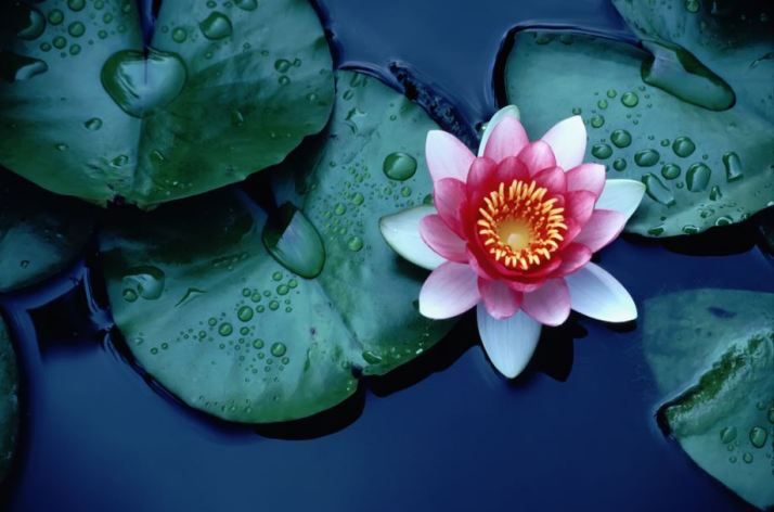 lotus-cicegi-2[1]